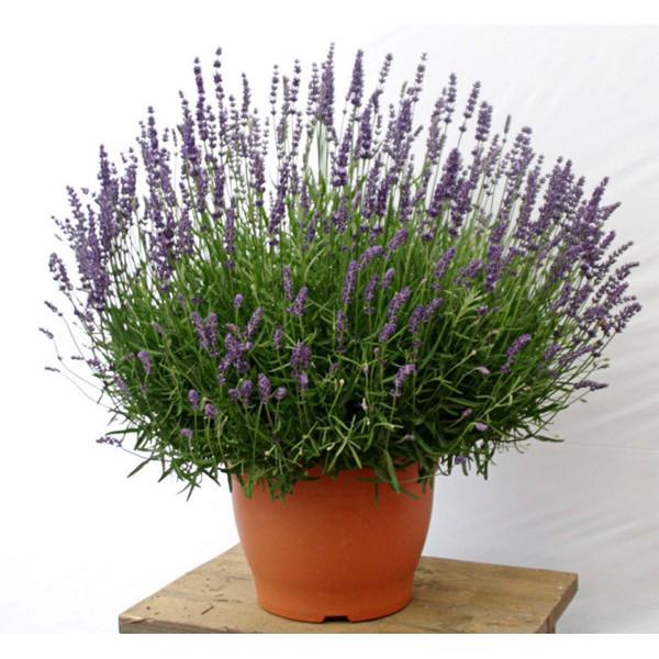 Hạt Giống Hoa Lavender – Oải Hương 250 – 300 hạt