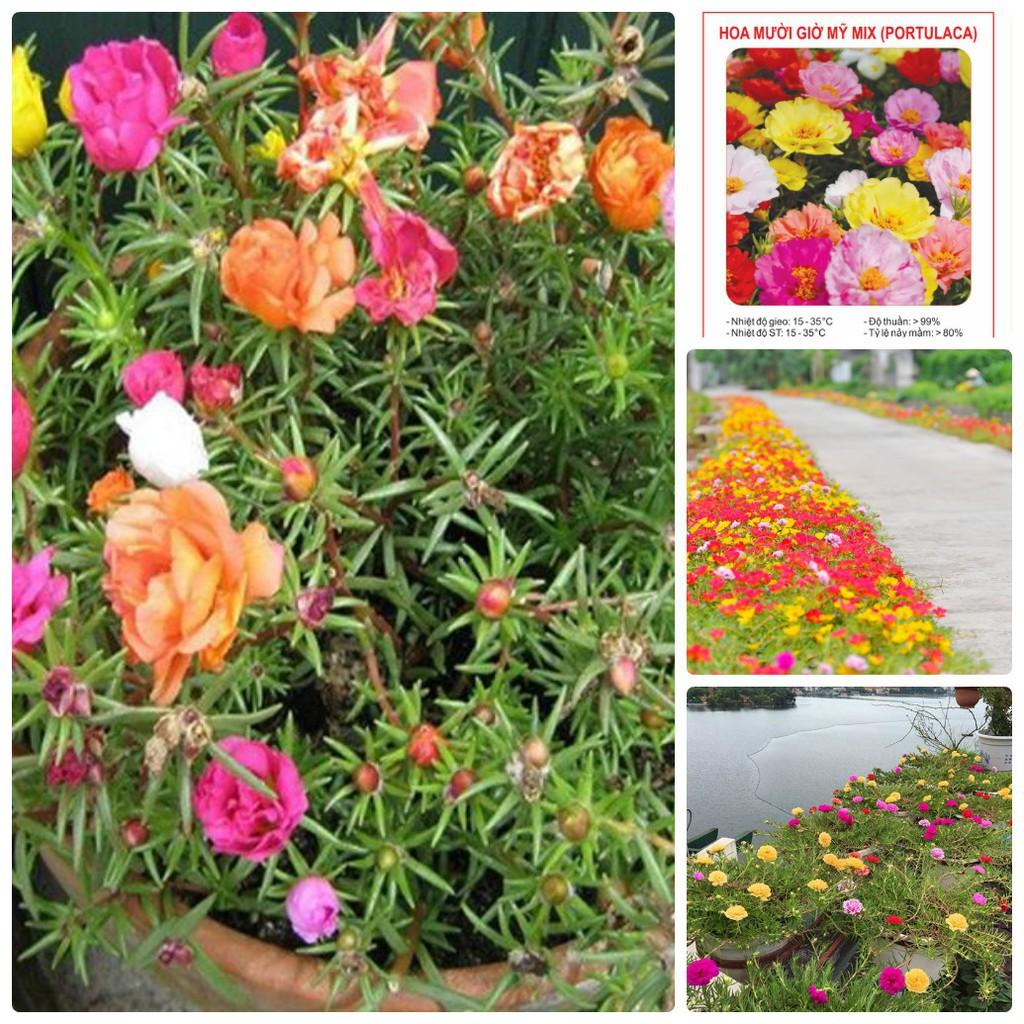 Hạt giống hoa mười giờ MỸ nhiều màu ( gói 30 hạt) - 22891739 , 2458861495 , 322_2458861495 , 25000 , Hat-giong-hoa-muoi-gio-MY-nhieu-mau-goi-30-hat-322_2458861495 , shopee.vn , Hạt giống hoa mười giờ MỸ nhiều màu ( gói 30 hạt)