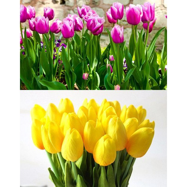 Củ Tulip - 8 màu giá 12k/củ