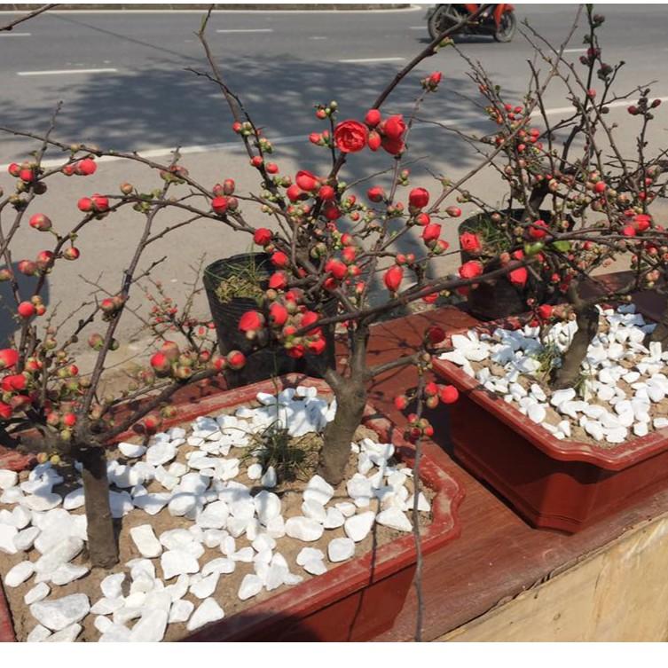 FREE SHIP BỘ 06 gói hạt giống hoa mai đỏ bonsai