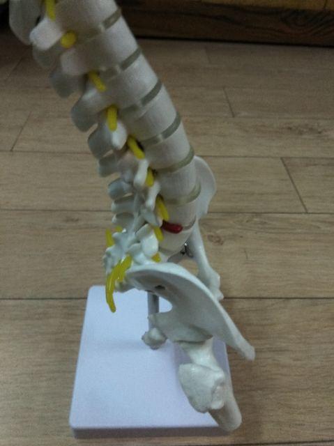 Mô hình giải phẫu cột sống
