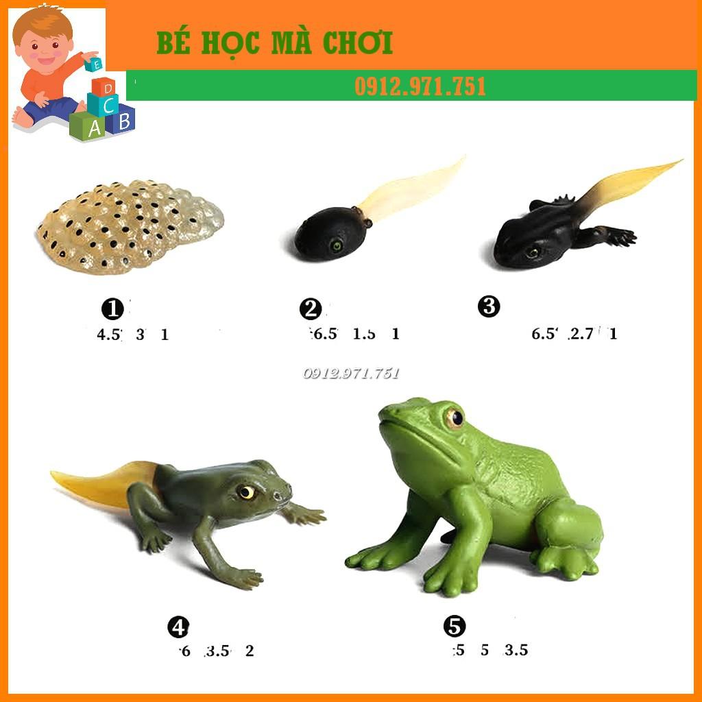 Mô hình vòng đời của ếch - Frog Life Cycle