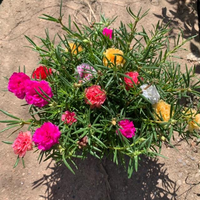 Cây hoa mười giờ thân leo mix nhiều màu rực rỡ trồng bịch cao 15cm dễ trồng và chăm sóc, thích hợp trang trí sân vườn