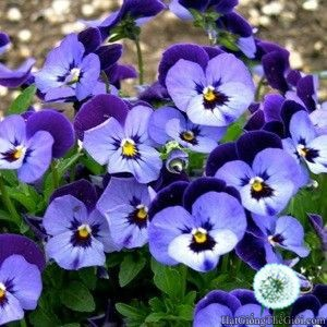 10h Hạt Giống Hoa Bướm - Tím Nhảy (Viola cornuta) - 3117132 , 917497039 , 322_917497039 , 24000 , 10h-Hat-Giong-Hoa-Buom-Tim-Nhay-Viola-cornuta-322_917497039 , shopee.vn , 10h Hạt Giống Hoa Bướm - Tím Nhảy (Viola cornuta)