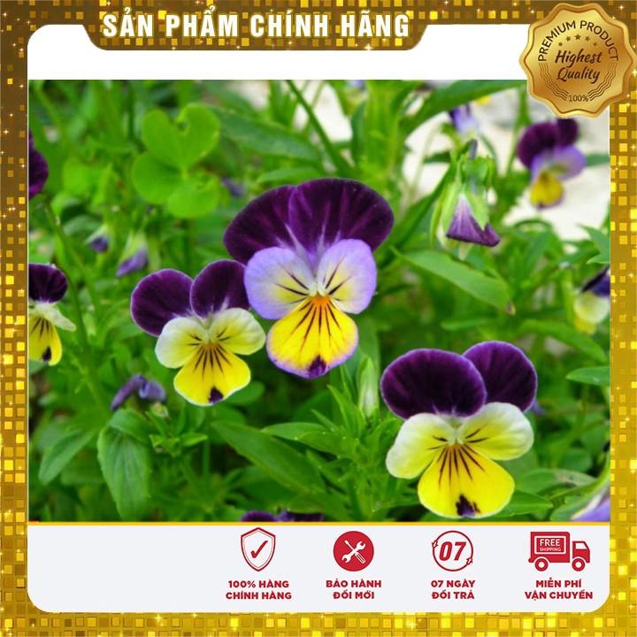 HẠT GIỐNG HOA PANSY nhiềumàu hat giong hoa bướm pansy