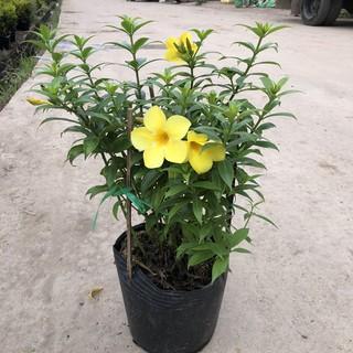 Cây chuông vàng ( Huỳnh anh đứng ) Chiều cao 30-35cm tán sum suê hoa nở đẹp bắt mắt, thích hợp trang trí sân vườn thumbnail