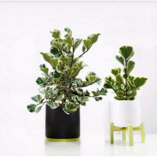 Cây Đa Tam Phúc (cây cẩm thạch lá tim)