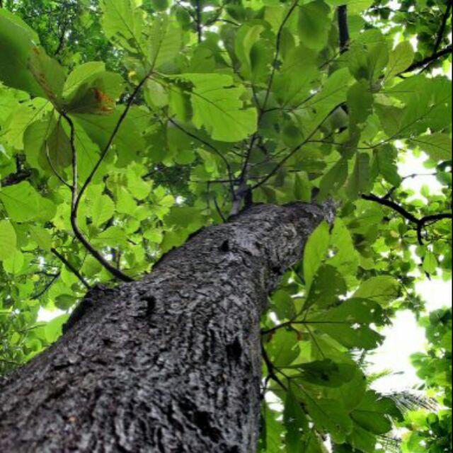 cây giá tỵ