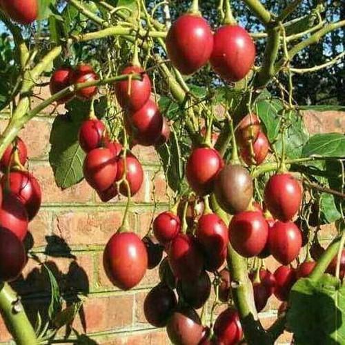 FREESHIP 99K TOÀN QUỐC_Combo 100 gói hạt giống cà chua th