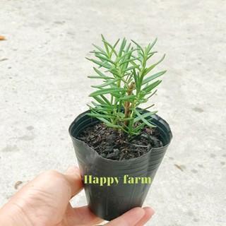 Cây hương thảo -Rosemary (hương thơm gia vị và đuổi muỗi)