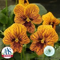 10h Hạt Giống Hoa Bướm - Mắt Hổ (Viola cornuta) - 3478520 , 917499737 , 322_917499737 , 24000 , 10h-Hat-Giong-Hoa-Buom-Mat-Ho-Viola-cornuta-322_917499737 , shopee.vn , 10h Hạt Giống Hoa Bướm - Mắt Hổ (Viola cornuta)