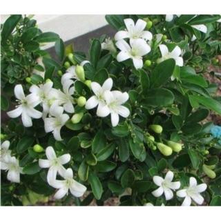 Cây giống nguyệt quế cao 40-50cm ra hoa liên tục