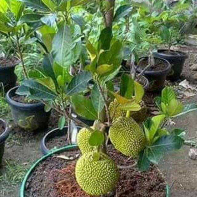 Com bo 1 cây mít thái siêu sớm và 1 cây xoài giống úc - 14817895 , 2184952043 , 322_2184952043 , 195000 , Com-bo-1-cay-mit-thai-sieu-som-va-1-cay-xoai-giong-uc-322_2184952043 , shopee.vn , Com bo 1 cây mít thái siêu sớm và 1 cây xoài giống úc