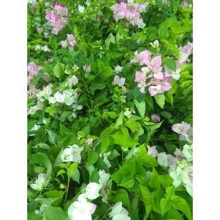 Cây hoa giấy Thái phớt hồng