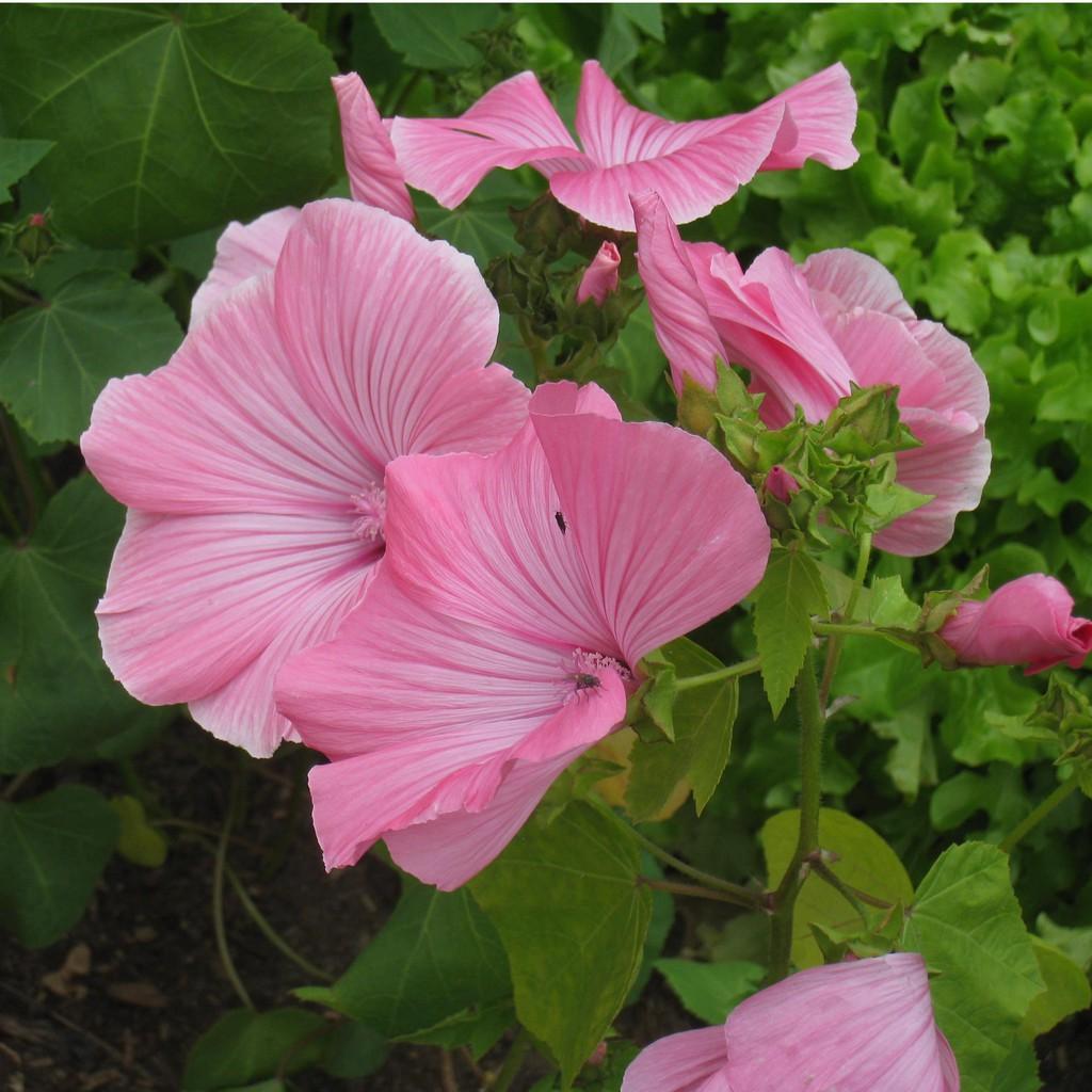 COMBO 2 gói hạt giống hoa cẩm quỳ hồng TẶNG 1 phân bón