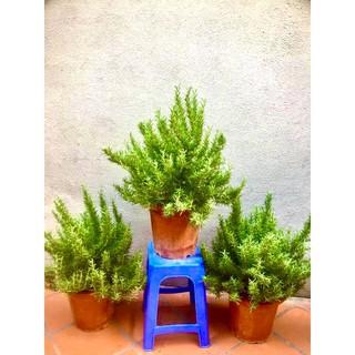 Cây hương thảo size đại (ảnh thât) -rosemary - cây gia vị với hương thơm dịu nhẹ, vừa đuổi muỗi lại giúp thư giãn