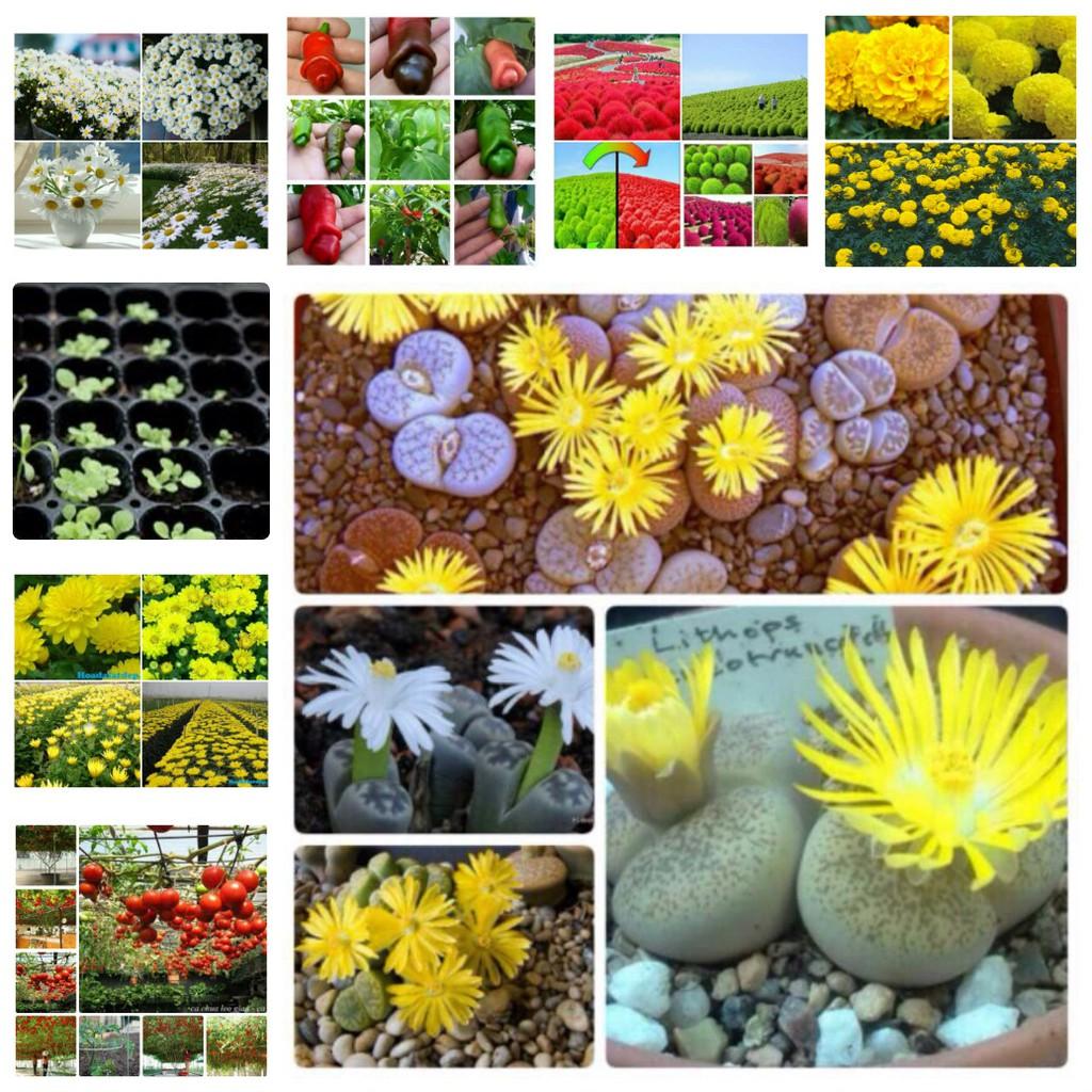 -35% Combo 15 loại hạt giống hoa xinh trồng chậu +khay ươm chất liệu nhựa tốt 1
