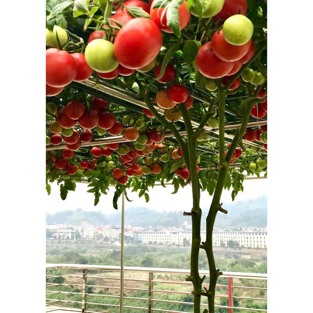 Gói 20 hạt giống Cà chua bạch tuộc leo giàn quả to 700-900gr/trái - 85 ngày bắt đầu thu hoạch