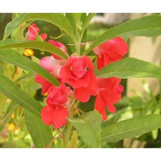Hạt Giống Hoa Móng Tay Nhiề thumbnail