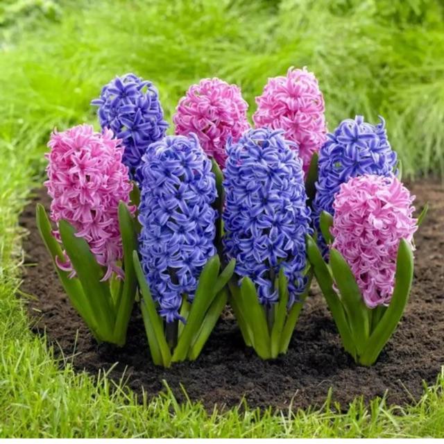 Hạt giống hoa ông tiên nhiều màu