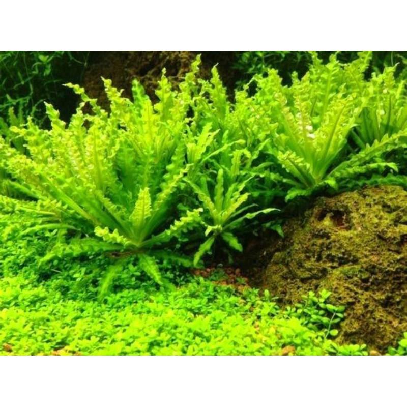 Cây Sao Nhỏ - Cây thủy sinh đẹp, giá tốt (Pogostemon Helferi) - Phụ kiện trang trí hồ thủy sinh   Shopee Việt Nam