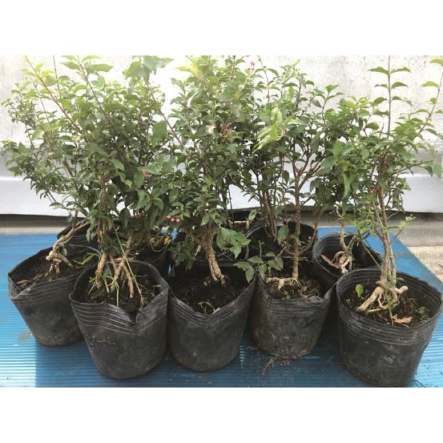 Hồng ngọc mai mini chơi bonsai