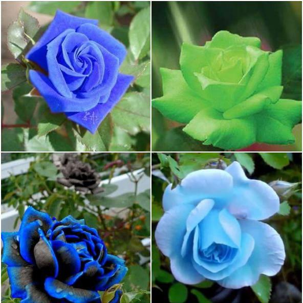 Hạt giống hoa hồng xanh 20 hạt - tặng kèm gói thuốc kích hat nảy mầm