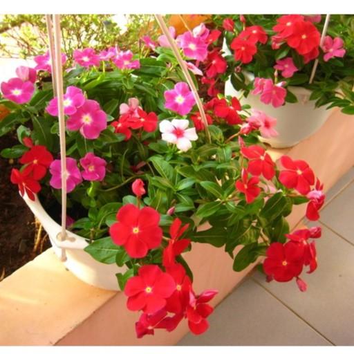 Hạt giống hoa Dừa Cạn Rủ Nhiều màu