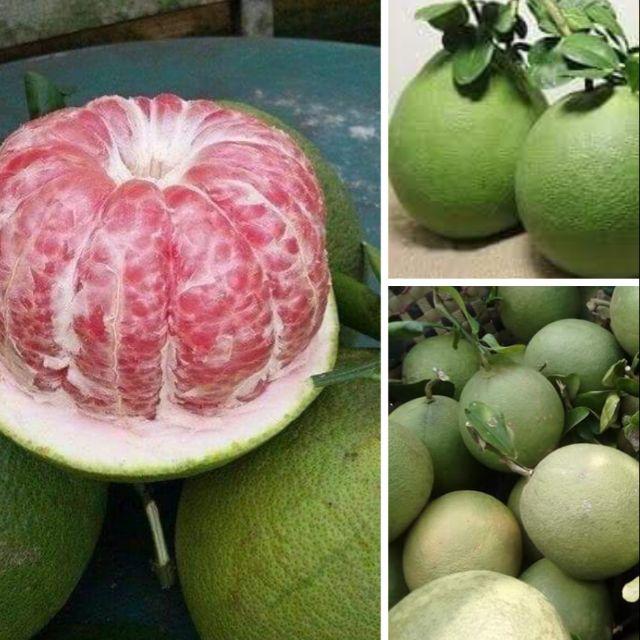 Kỹ thuật trồng và chăm sóc bưởi da xanh