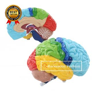 1:1 Right Hemisphere Functional Area Anatomy Human Brain Model