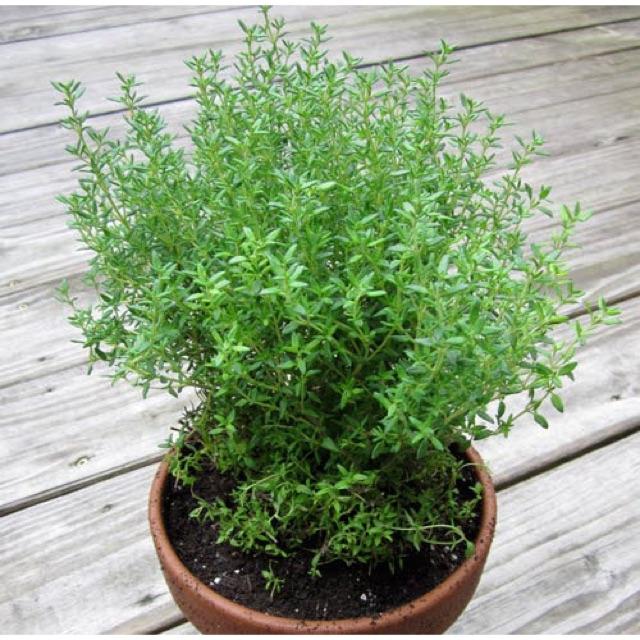 Hạt giống Cây Xạ Hương cây gia vị thơm vườn nhà - 2582595 , 20588068 , 322_20588068 , 25000 , Hat-giong-Cay-Xa-Huong-cay-gia-vi-thom-vuon-nha-322_20588068 , shopee.vn , Hạt giống Cây Xạ Hương cây gia vị thơm vườn nhà