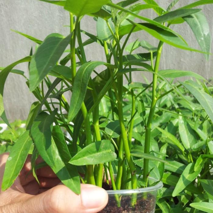 Hạt giống Rau Muống Lá Tre dễ trồng quanh năm gói 50 GRAM   Shopee ...