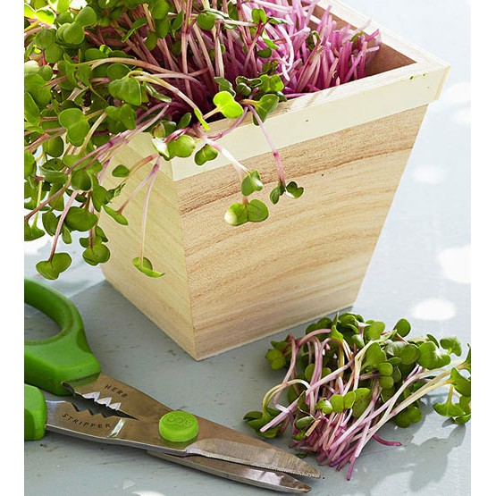 Hạt giống rau mầm củ cải đỏ ngon dinh dưỡng ( Gói lớn 1 Kg )