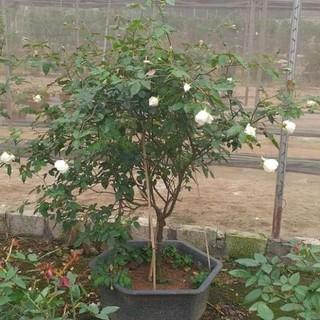 Cây Giống Cây giống hoa hồng bạch ho