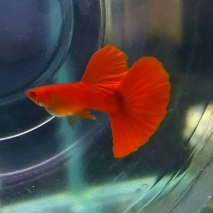 Cá Bảy Màu Thái Dòng Abino Full Red Giảm Chỉ Còn 100000 đ