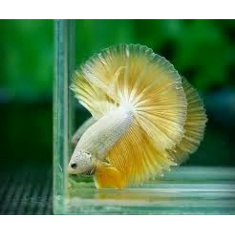 Betta Halfmoon Rồng Vàng - Betta Halfmoon Dragon Yellow