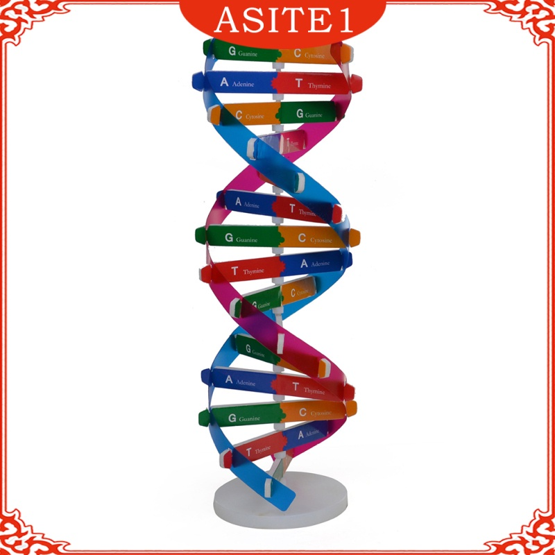 DNA Models, Double Helix Model, Science Educational Teaching Instrument Toy for Kids