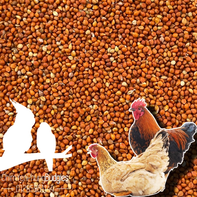 Hạt kê đỏ nhỏ Hà Nội (thức ăn chim yến • gà kiểng • cu gáy...)