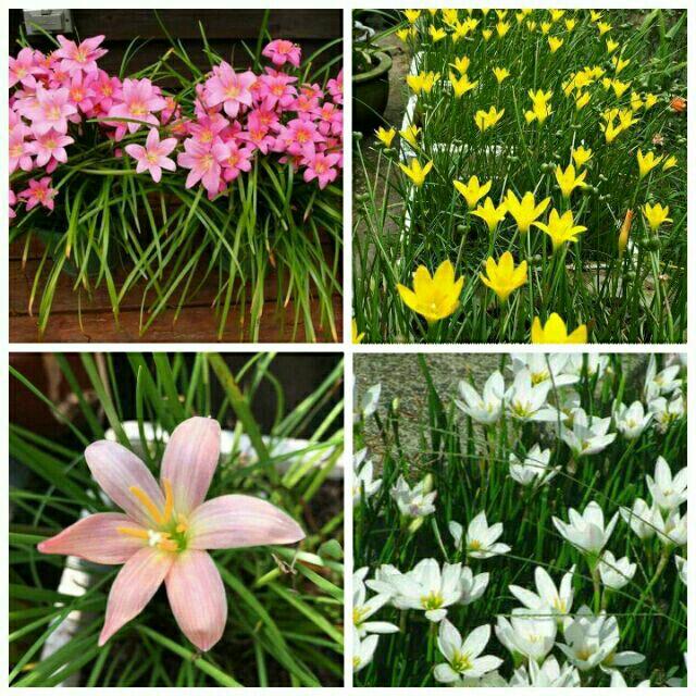 5 củ Huệ mưa có sẵn rễ:vàng,trắng,hồng tươi,hồng phấn.
