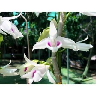 Hoa phong lan phi điệp 5ct cánh trắng phú thọ gieo hạt ki mập khỏe ấm chậu