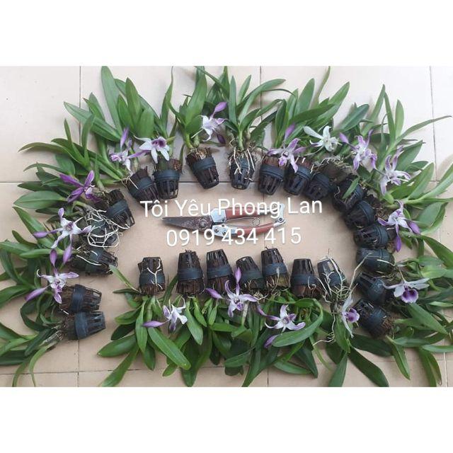 Combo 10 chậu cây giống hoa lan dendro màu, mini, nắng lộn xộn