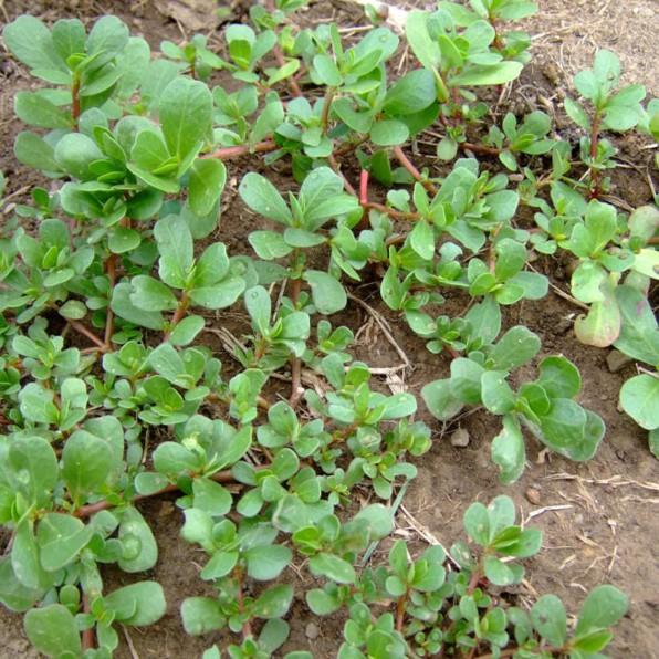 COMBO 5 gói hạt giống cây sâm đất TẶNG 1 phân bón - 2642621 , 1251590927 , 322_1251590927 , 89000 , COMBO-5-goi-hat-giong-cay-sam-dat-TANG-1-phan-bon-322_1251590927 , shopee.vn , COMBO 5 gói hạt giống cây sâm đất TẶNG 1 phân bón