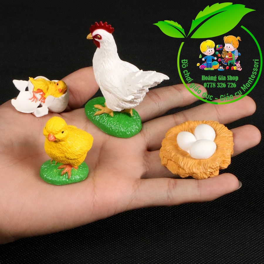 Mô hình vòng đời của gà - Chicken Life Cycle