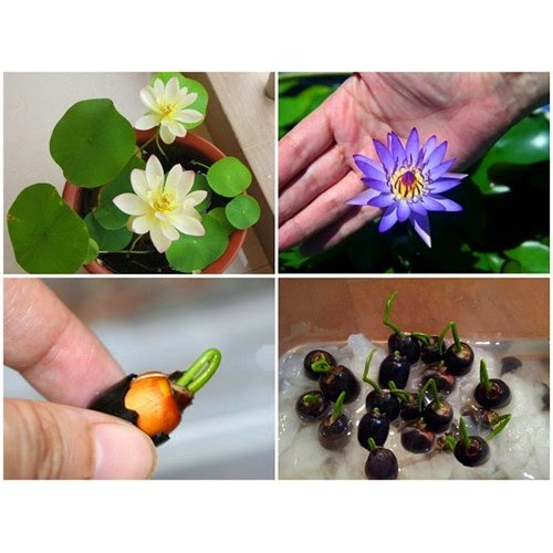 5 hạt giống hoa Sen mini nhiề