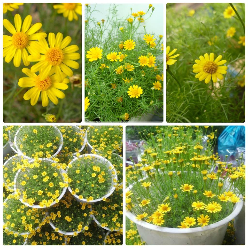 COMBO 02 gói hạt giống hoa cúc sao băng tặng kèm gói phân bón dinh dưỡng cho hoa