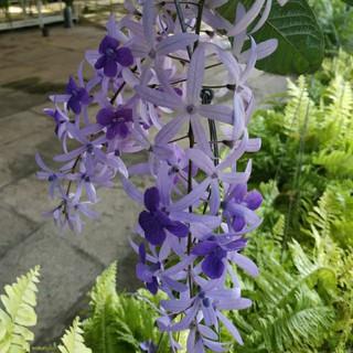 Cây mai xanh thái lan - Cây cảnh sân vườn trồng cổng rào ban công - hình 1
