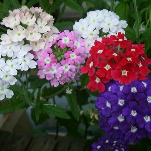 Hạt giống hoa vân anh nhiều màu ( gói 50 hạt)