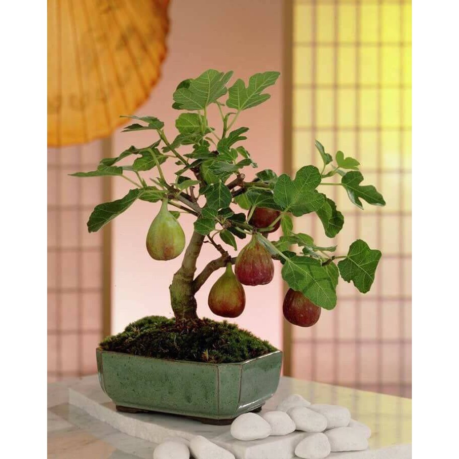 Hạt giống Sung Mỹ Lùn - Sung mỹ bonsai F1