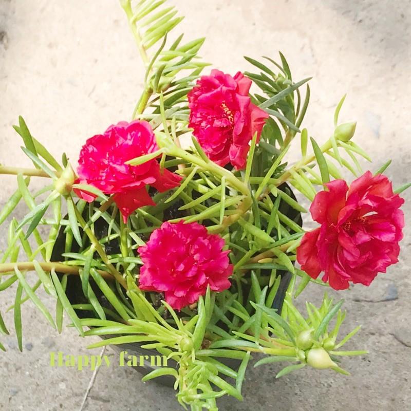 Chậu hoa mười giờ màu đỏ