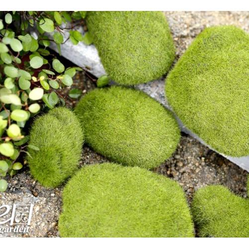 Tiểu Cảnh: Hòn đá bám cỏ - Thảm cỏ xanh trang trí tiểu cảnh terrarium